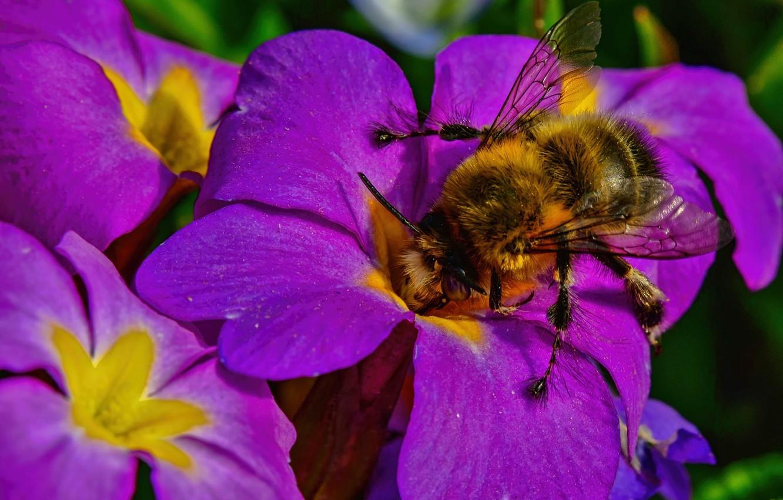 Фото обои макро, цветы, насекомое, шмель, примула