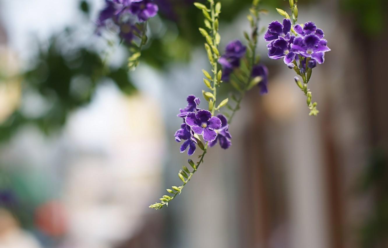 Фото обои макро, цветы, ветки, лепестки, размытость, фиолетовые, Дуранта