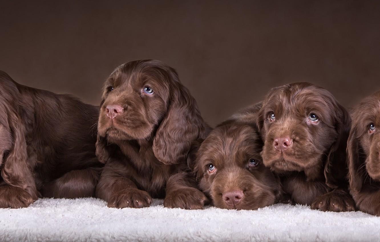 Обои спаниель, шоколадный, щенки. Собаки foto 8