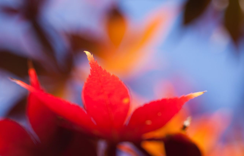 Фото обои макро, оранжевый, яркий, лист, Осень, размытость, кленовый