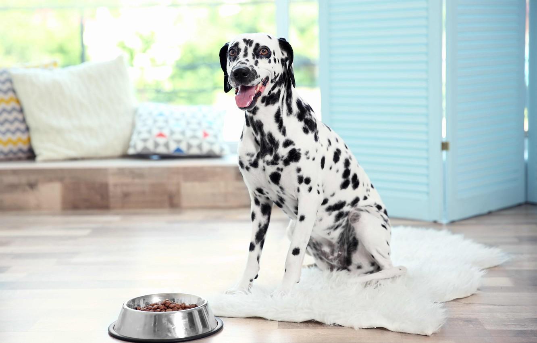 Фото обои собака, далматин, dog, dalmatian