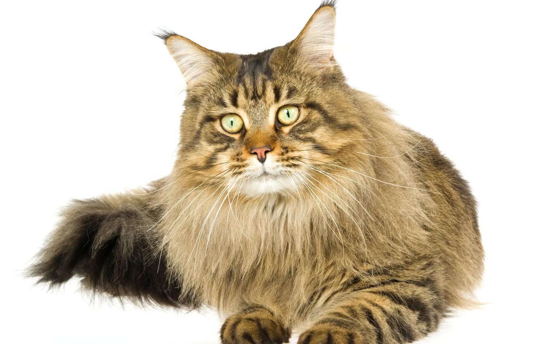 фото кота на прозрачном фоне остались старые