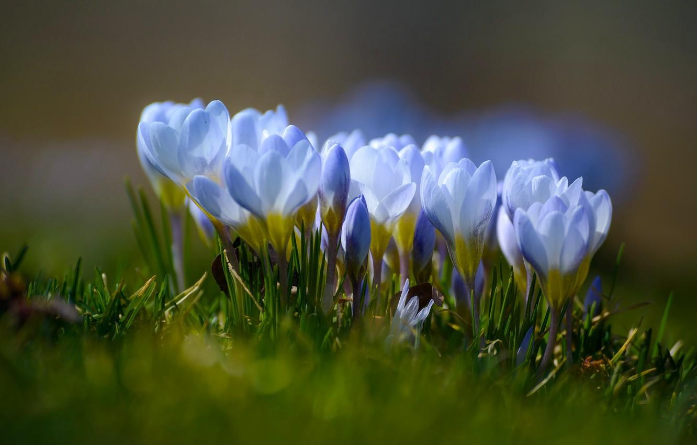 Фото обои макро, весна, крокусы, боке, шафран