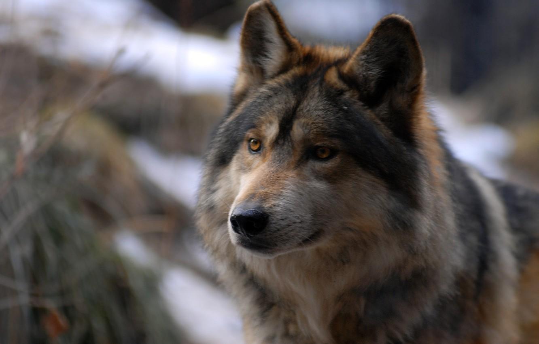Фото обои взгляд, хищник, Волк
