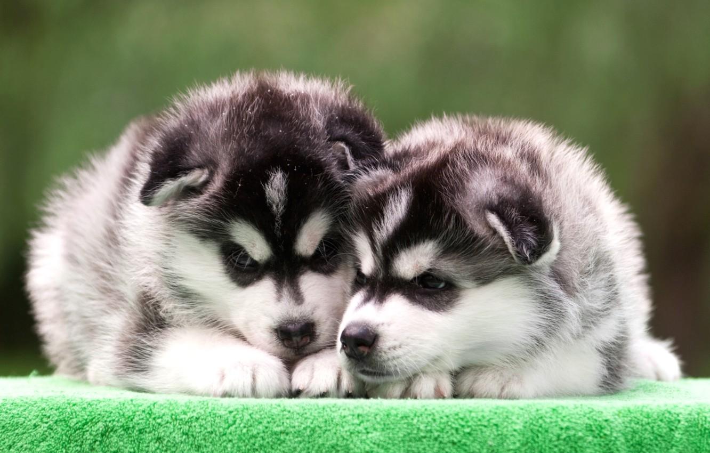 Фото обои щенки, дуэт, хаски
