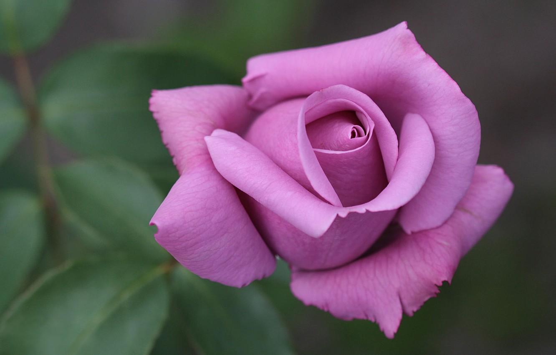 Бутоны цветов картинка