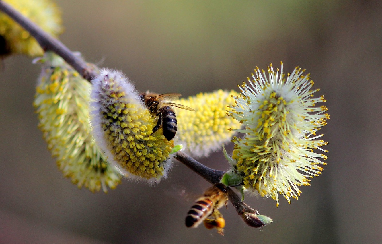 Фото обои ветки, природа, пыльца, весна, почки, верба, пчёлы
