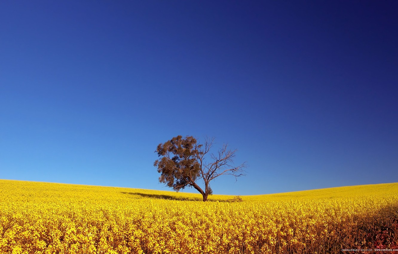 Фото обои Небо, Поле, Дерево