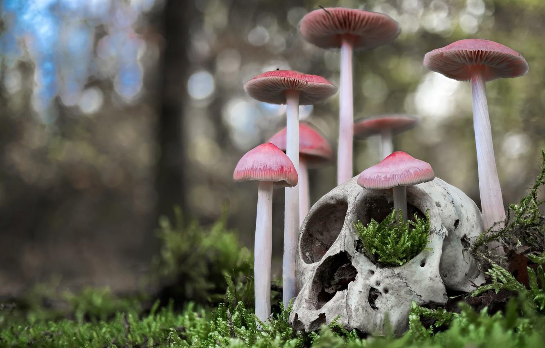 Фото обои грибы, череп, мох, боке, Мицена чистая