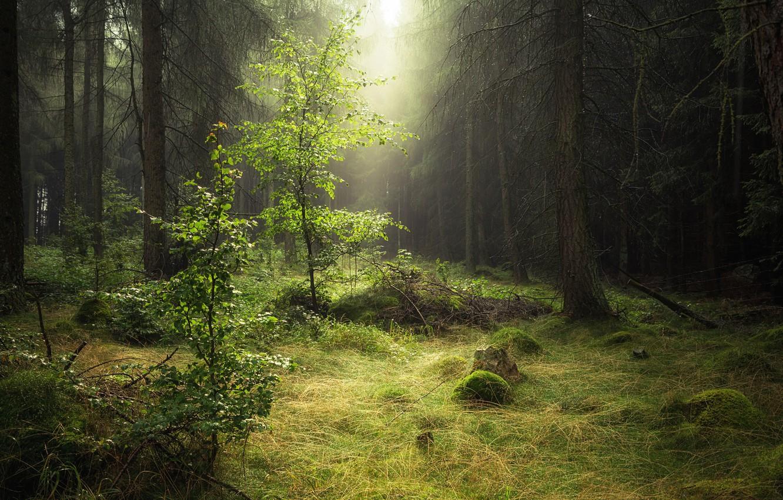 Фото обои лес, природа, роса, утро, дымка