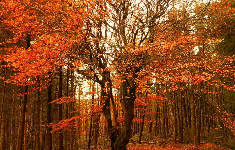 Фото обои Осень, Деревья, Лес, Fall, Autumn, Colors, Forest, Trees