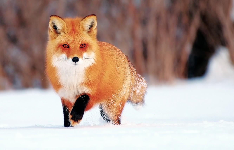 Фото обои зима, снег, лиса, лис
