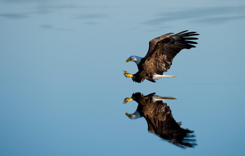 Фото обои lake, reflection, bald eagle, hunting