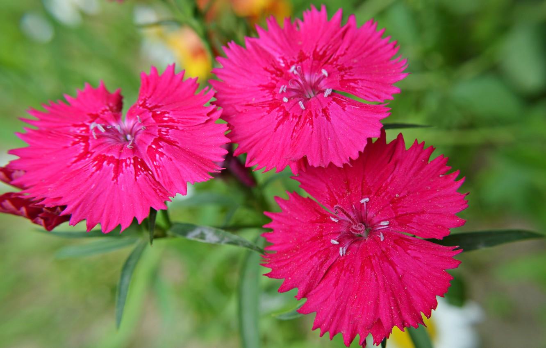 Фото обои цветок, макро, природа, лепестки, китайская гвоздика