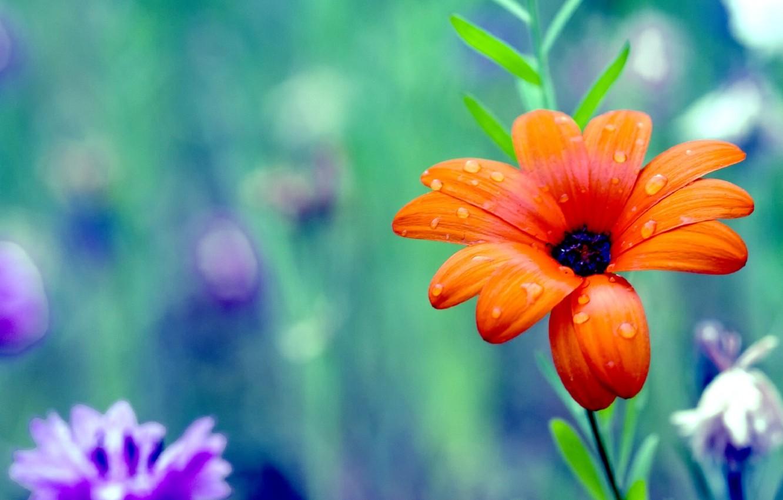 Фото обои цветок, цвета, colors, лепестки, colorful, flower, дикие, красочные, petals, wild