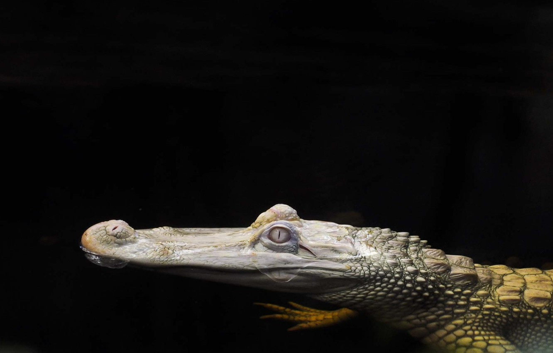 Фото обои вода, фон, голова, Крокодил, альбинос