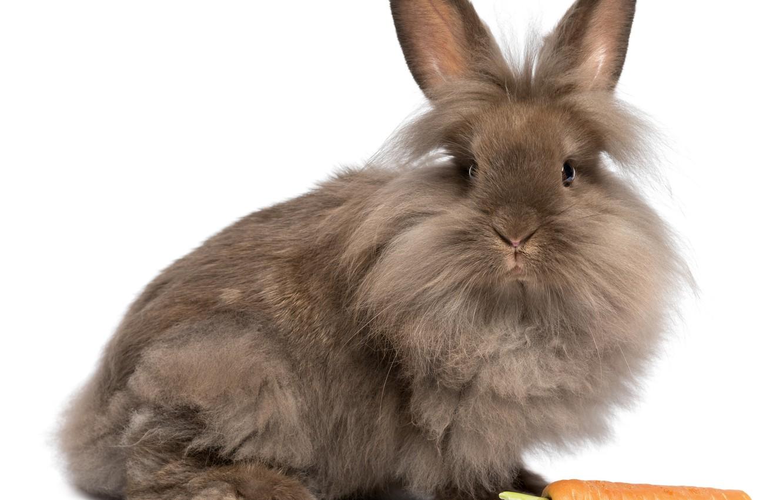 Фото обои фон, морковка, зайка, лапочка
