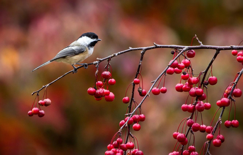 Фото обои осень, ягоды, птица, ветка, птичка, синичка, синица, John Clay Photography