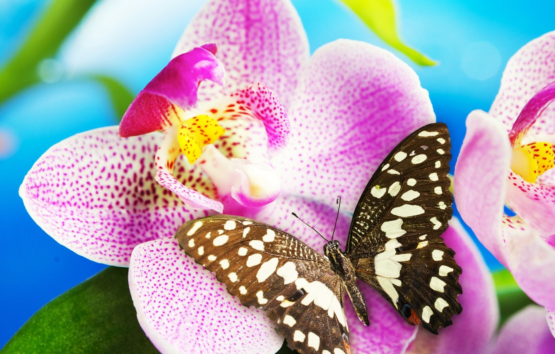 Фото обои цветок, бабочка, орхидея, blossom, butterfly, Orchid