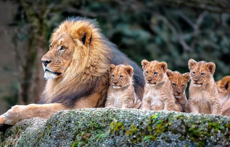 Картинки один лев много львы