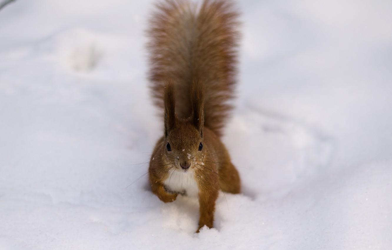 Фото обои зима, снег, хвост, рыжая, Белка, кисточки, пушистая