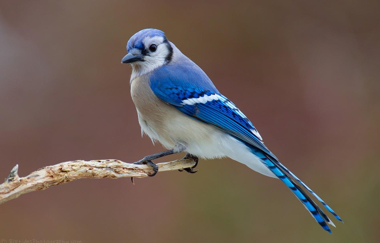 сухой птица с голубыми крыльями картинки фартук черной