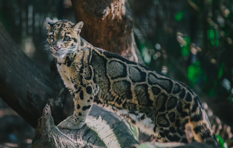 Фото обои поза, хищник, пятна, дикая кошка, дымчатый леопард