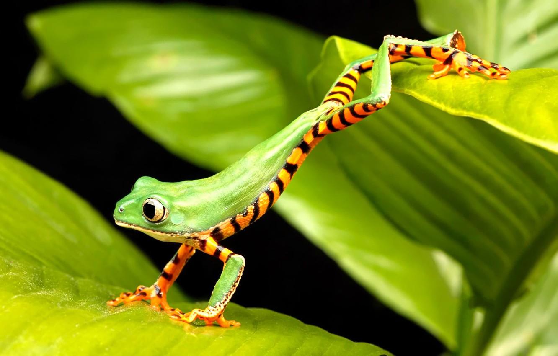 Фото обои лягушка, зеленая, прыгает