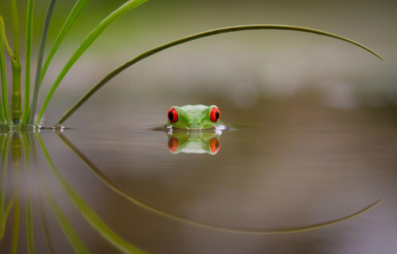 Фото обои вода, лист, озеро, лягушка, купание, зеленая, красные глаза, разноцветная, frog, water, red eyes, lake, плывет, …