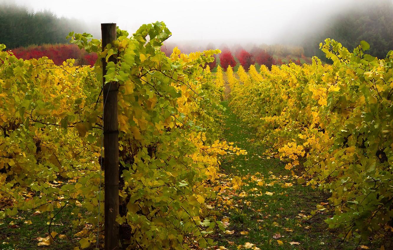 Фото осень виноградник