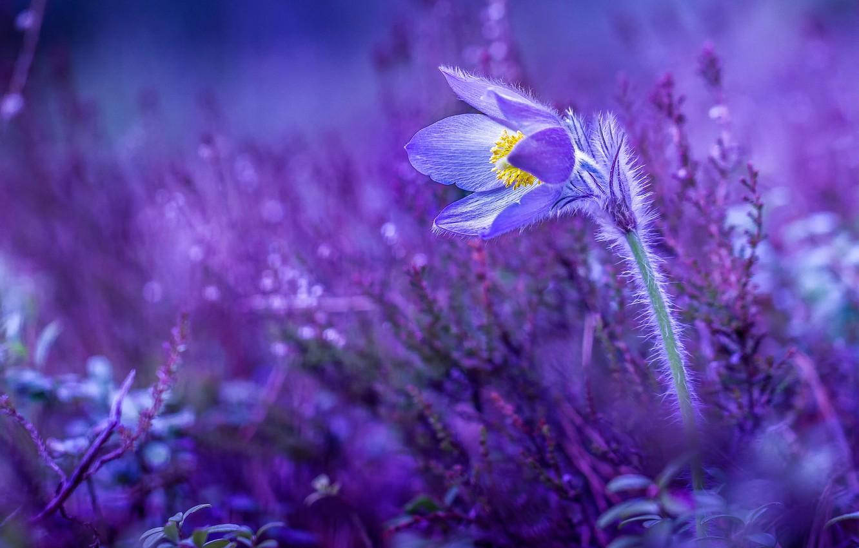 Обои сон великий, первоцвет, Весна, цветок. Цветы foto 6
