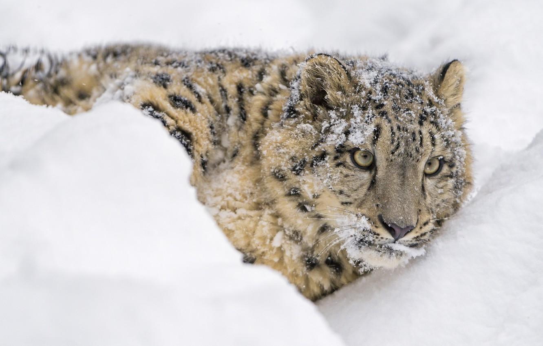 Обои лежит, на снегу, Хищник. Животные foto 14