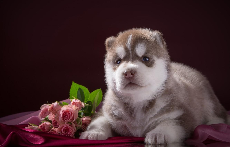 Фото обои розы, щенок, ткань, хаски, порода