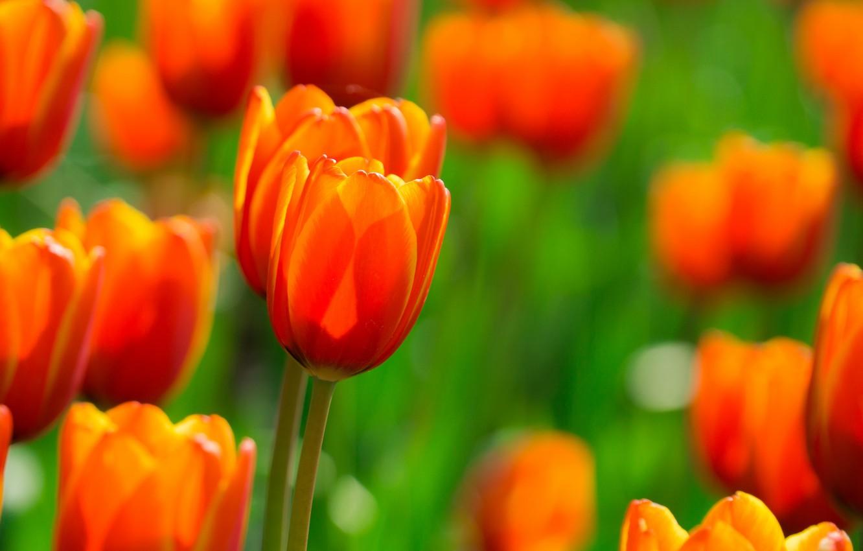 Фото обои поле, цветы, Тюльпаны, оранжевые, огненные