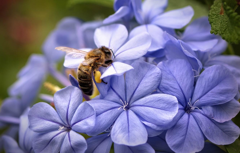 Фото обои макро, цветы, фокус, Пчела, лепестки, сиреневые