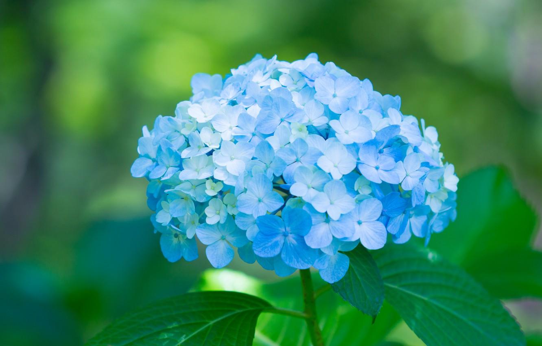 Фото обои лепестки, blue, цветки, flowers, голубая, гортензия, petals, splendor, hydrangea, пышность