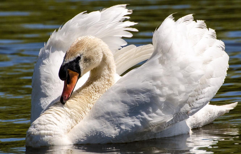 Фото обои белый, вода, птица, крылья, грация, лебедь, шея