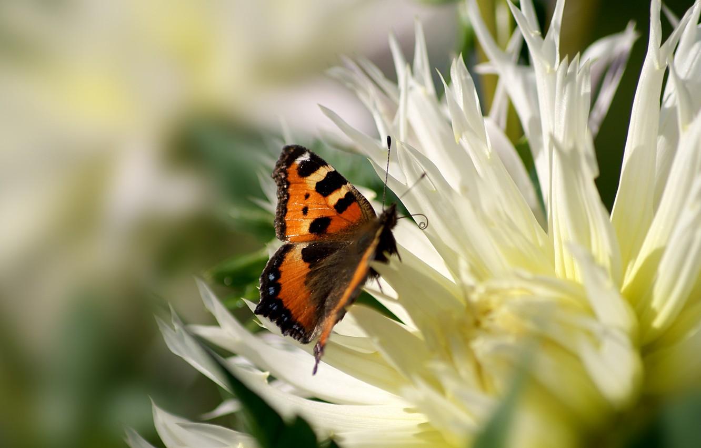 Фото обои макро, пыльца, бабочка, Цветок, лепестки