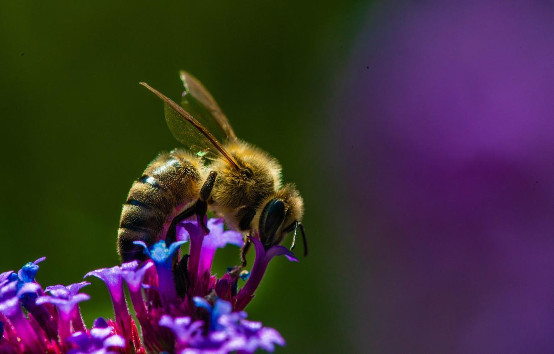 Обои насекомое, цветок, пчела. Макро foto 17
