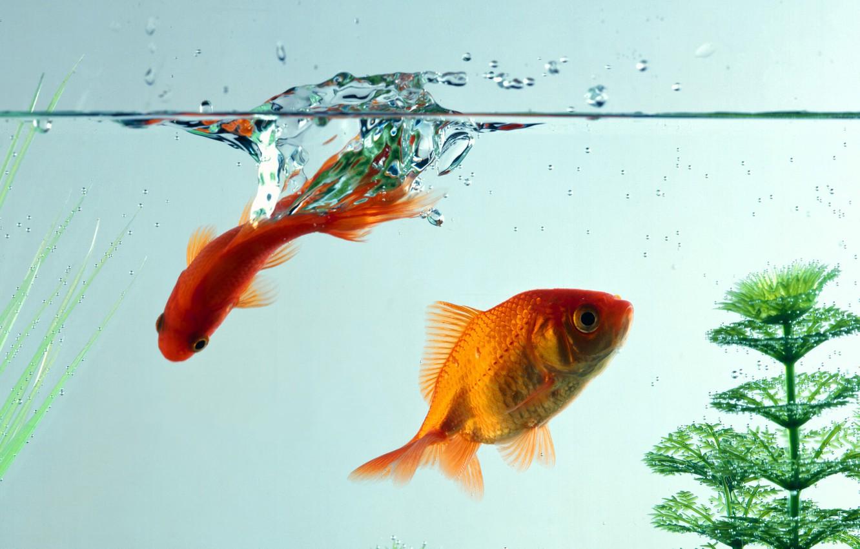 Обои Аквариум, рыбка. Животные foto 12