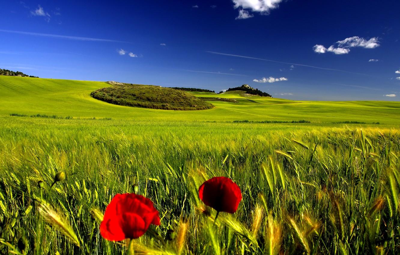 Фото обои поле, лето, небо, мак, колоски