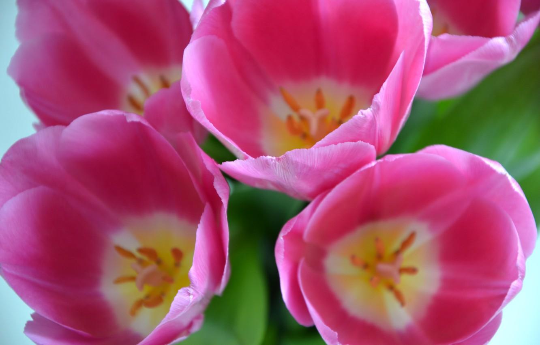 Фото обои цветы, крупный план, розовый, весна, тюльпаны, ярко, бутоны, крупным планом