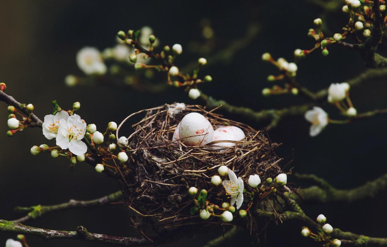 Фото обои природа, весна, гнездо, яица