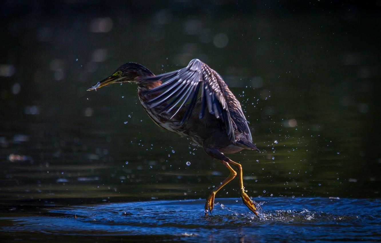 Фото обои bird, water, Texas, pond, Pasadena, Green Heron, Horsepen Bayou