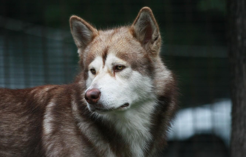Фото обои взгляд, друг, собака, маламут