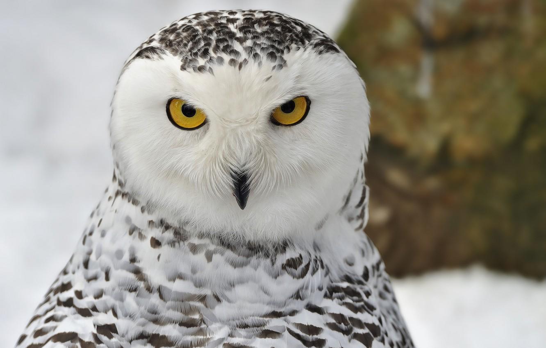 Фото обои зима, взгляд, снег, птица, портрет, Снежная сова