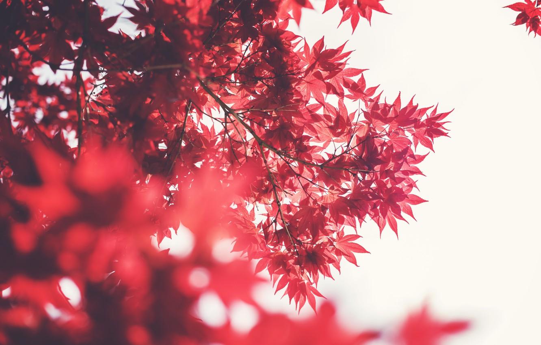 Фото обои листья, дерево, красные