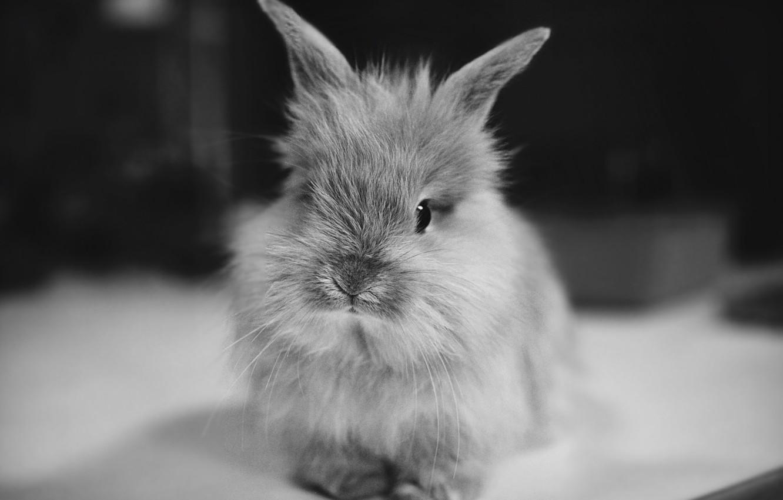 Фото обои животное, кролик, уши