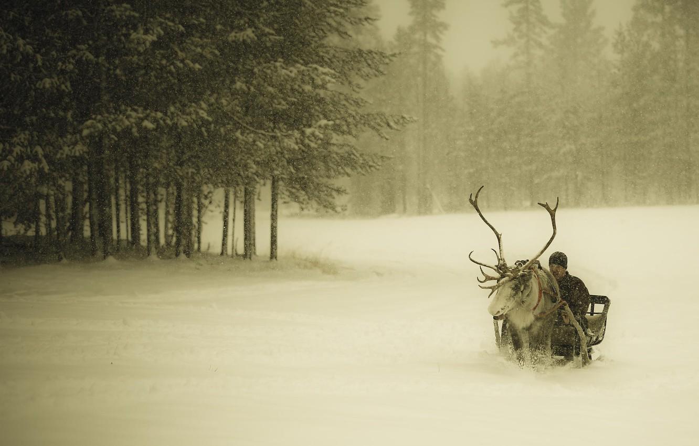 Фото обои зима, лес, снег, олень, парень, сани, снегопад, Финляндия