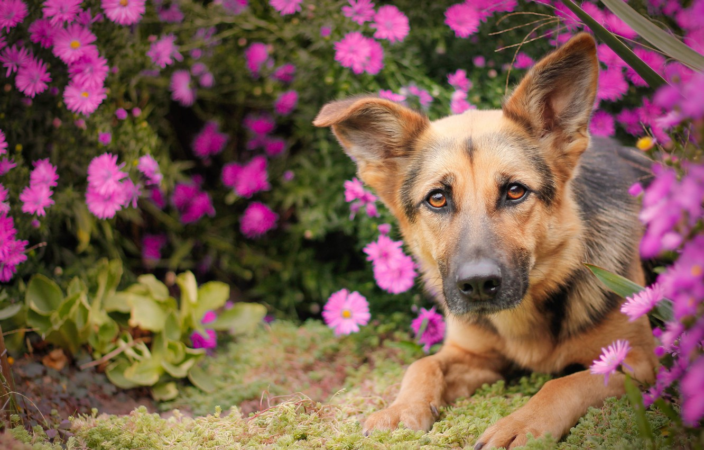 Фото обои взгляд, морда, цветы, собака, овчарка, Немецкая овчарка